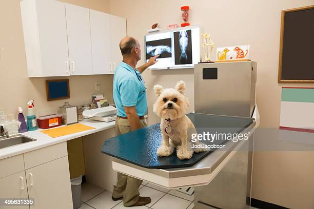 Veterinarian looking at a small dogs x-ray