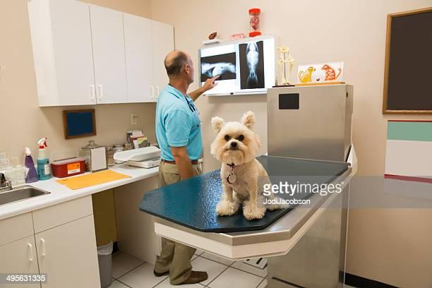 Vétérinaire examinant une petite chiens x-ray