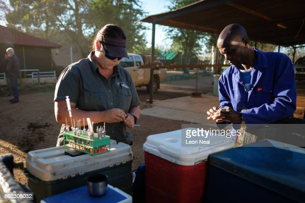 Veterinarian Michelle Otto prepares the tranquiliser darts ahead of a day of horn trimming at the ranch of rhino breeder John Hume on October 16 2017...