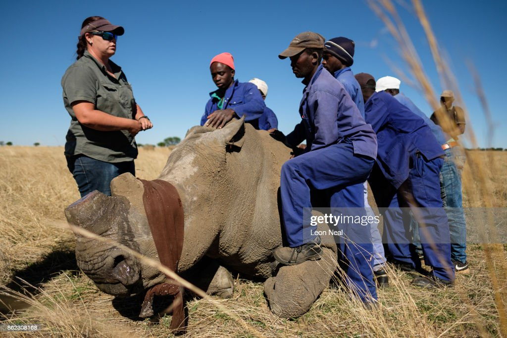 Veterinarian Michelle Otto (L) stands with a sedated and blindfolded white rhino after trimming it's horn at the ranch of rhino breeder John Hume, on October 16, 2017 in the North West Province of South Africa. John Hume is currently the owner of around 1500 white and black rhinos, which he keeps under armed guard on his 8000 hectare property. In a bid to prevent poaching and conserve the different species of rhino, the horns of the animals are regularly trimmed, with 264 of the off-cuts recently being placed on sale at auction. The controversial decision to sell the horns was made on the basis that the illegal market creates an inflated value, while a controlled system would lower the prices and the need to poach. Mr Hume believes that the only way to ensure that the rhino does not become extinct is through farming the animals on a large scale and legalising the sale of rhino horn globally.