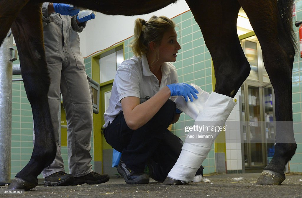 Veterinarian Natalia Dziubinski wraps a new bandage onto the leg of a horse at the Dueppel animal clinic on April 25, 2013 in Berlin, Germany. The Dueppel clinic consists of two separate facilities, one for horses and other large animals, the second for small animals. The Dueppel clinic belongs to the Freie Universitaet Berlin university and is one of five university veterinary clinics in Germany. The clinic for small animals is now the most modern in Germany.