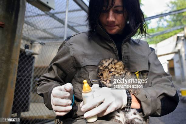A veterinarian of the Mulhouse zoo prepares to bottlefeed 'Argoun' a onemonthold Amur leopard on May 16 2012 at the zoo in Mulhouse eastern France...