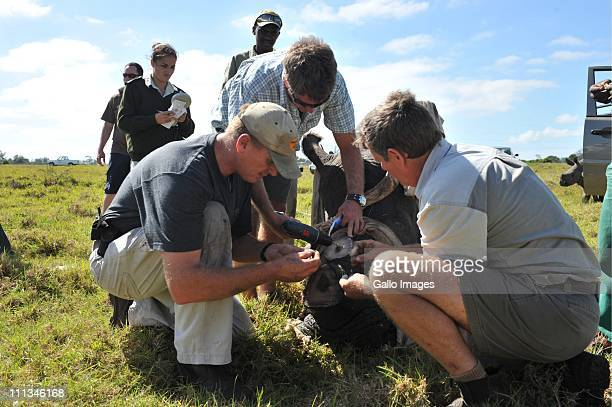 Veterinarian William Fowlds game park coowner Mike Cantor and game ranger Mof Swanepoel treat the wounds of a rhinoceros after sawing off its horns...