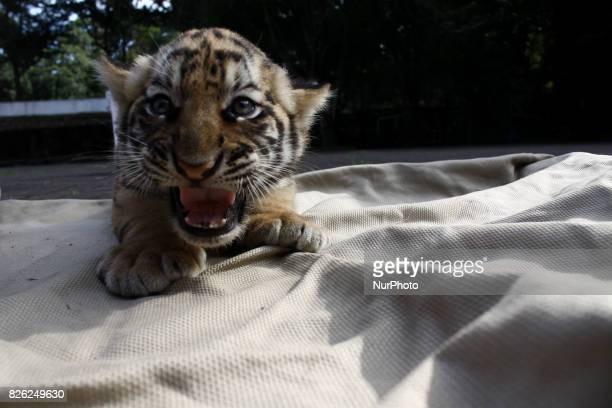 Veterinarians and keepers sunning two Bengal Tiger cubs at the Bandung Zoo Bandung West Java on August 4 2017 A couples of Bengal Tigers Sylla and...