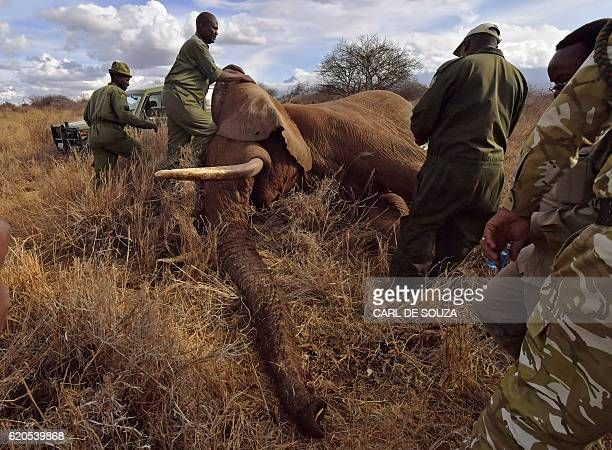 Veterinarians and park rangers attend to a sedated elephant outside Amboseli National Park on November 2 2016 The International Fund for Animal...