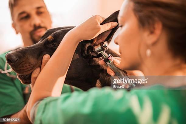 Veterinarians examining dog's ear at vet's office.