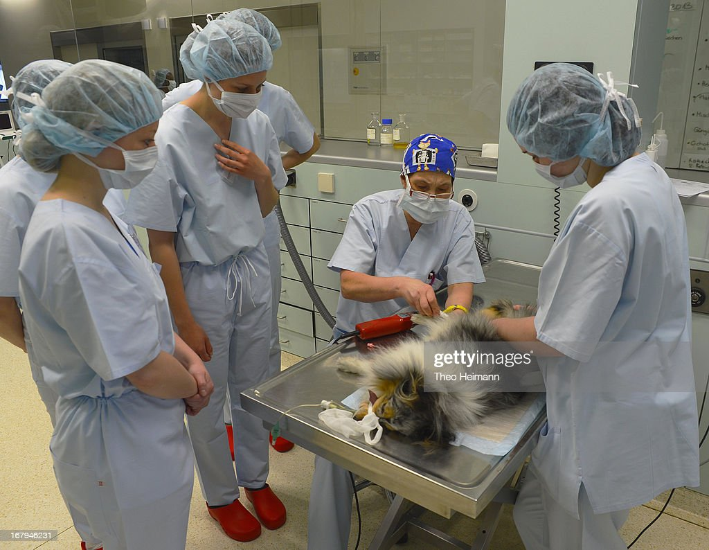Veterinarians prepare a terrier, whose owner had brought it all the way from Frankfurt am Main, for surgery as veterinary students (L) look on at the Dueppel animal clinic on April 29, 2013 in Berlin, Germany. The Dueppel clinic consists of two separate facilities, one for horses and other large animals, the second for small animals. The Dueppel clinic belongs to the Freie Universitaet Berlin university and is one of five university veterinary clinics in Germany. The clinic for small animals is now the most modern in Germany.