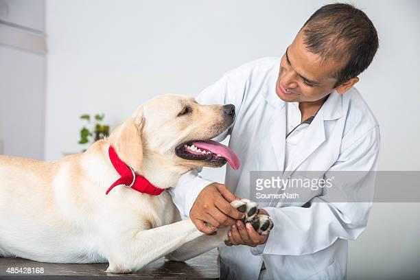 Tierarzt Doktor stellt medizinische Untersuchung auf ein Yellow Labrador Retriever