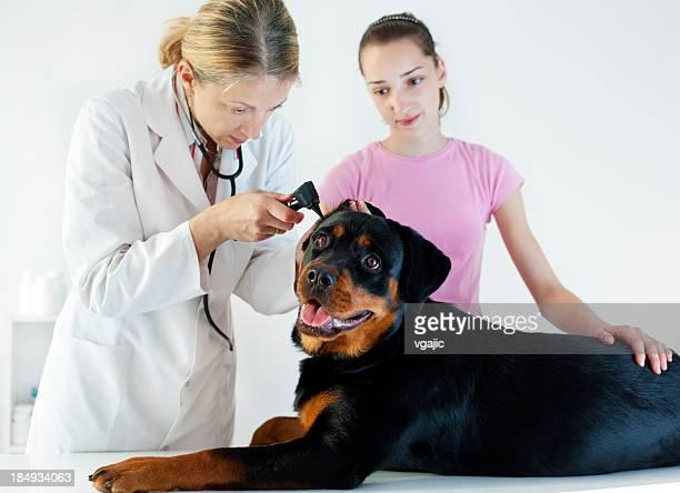 Veterinary Rottweiler Dog Ear Exam