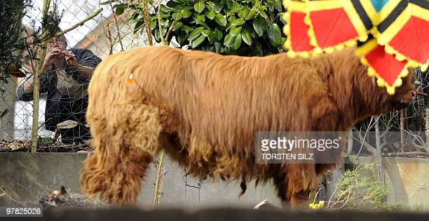 A veterinary surgeon blows an anaesthetic injection into the Scottish highland cow 'Berenike' in a garden in Neunkirchen western Germany on March 18...