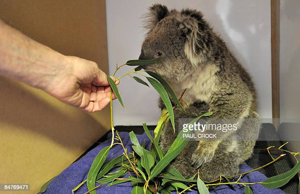 Veterinary surgeon Howard Ralph of the Internation Fund for Animal Welfare offers gum leaves to a mother and joey koala rescued from the bushfires at...