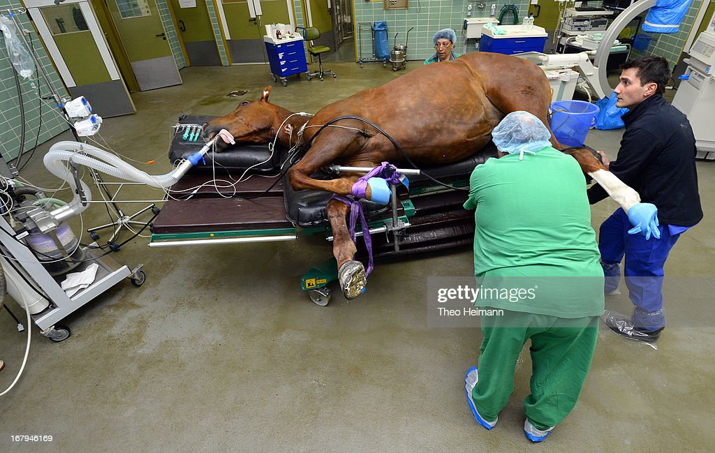 Veterinary technicians prepare a horse for surgery on a fractured leg at the Dueppel animal clinic on April 25, 2013 in Berlin, Germany. The Dueppel clinic consists of two separate facilities, one for horses and other large animals, the second for small animals. The Dueppel clinic belongs to the Freie Universitaet Berlin university and is one of five university veterinary clinics in Germany. The clinic for small animals is now the most modern in Germany.