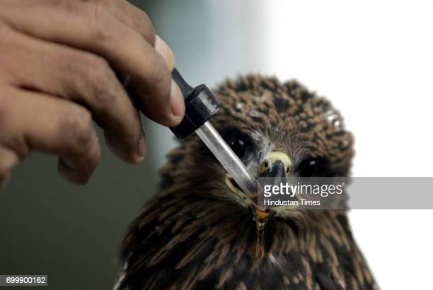 Veterinary Vet Animal Doctor Birds A doctor administering medicine on an injured kite due to Makar Sankrant more than 50 piegeon and more than 10...