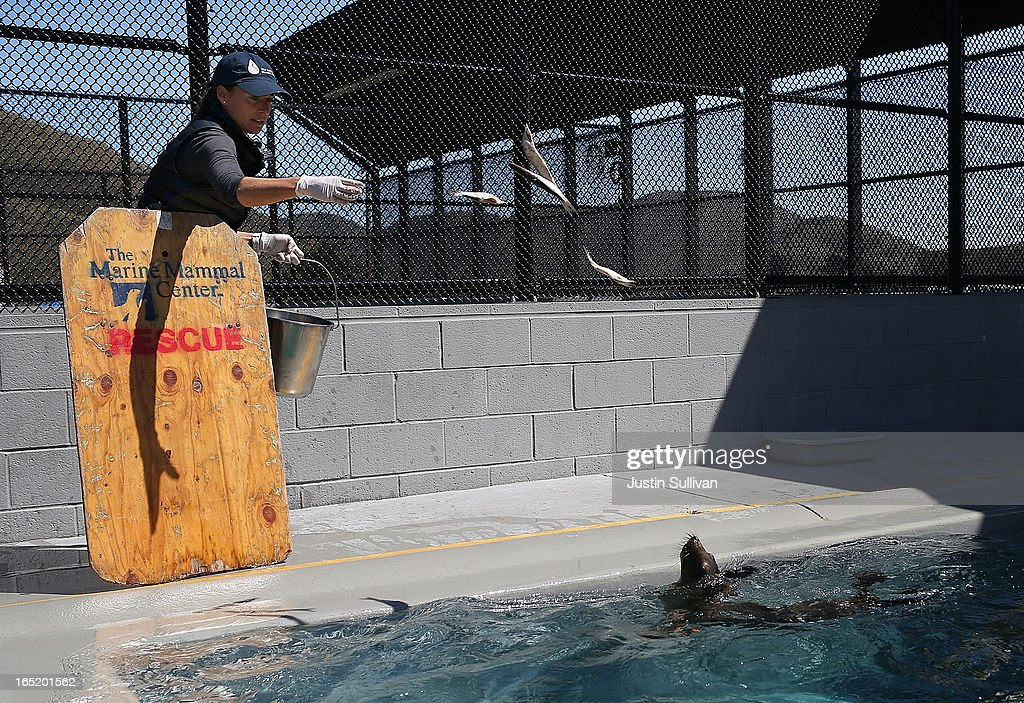 Vetrinary technician Sophie Guarasci feeds fish to California sea lion pups at the Marine Mammal Center on April 1, 2013 in Sausalito, California. 30 malnourished and sick California sea lion pups are being cared for and by veterinary staff and volunteers at the Marine Mammal Center after they were transferred from from inundated marine wildlife facilities in Southern California. The National Oceanic and Atmospheric Adminstration estimates that in the first three months of 2013 more than 900 malnourished sea lions have been rescued in the region compared to 100 during the same time period one year ago.