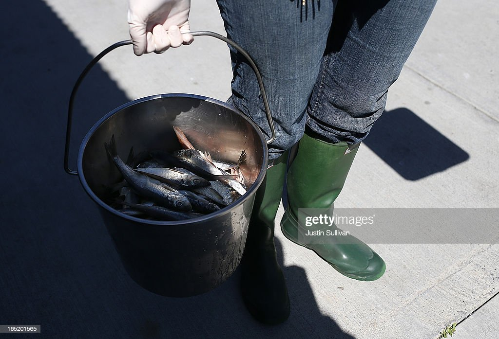 Vetrinary technician Sophie Guarasci holds a bucket of Herring that will be fed to California sea lion pups at the Marine Mammal Center on April 1, 2013 in Sausalito, California. 30 malnourished and sick California sea lion pups are being cared for and by veterinary staff and volunteers at the Marine Mammal Center after they were transferred from from inundated marine wildlife facilities in Southern California. The National Oceanic and Atmospheric Adminstration estimates that in the first three months of 2013 more than 900 malnourished sea lions have been rescued in the region compared to 100 during the same time period one year ago.