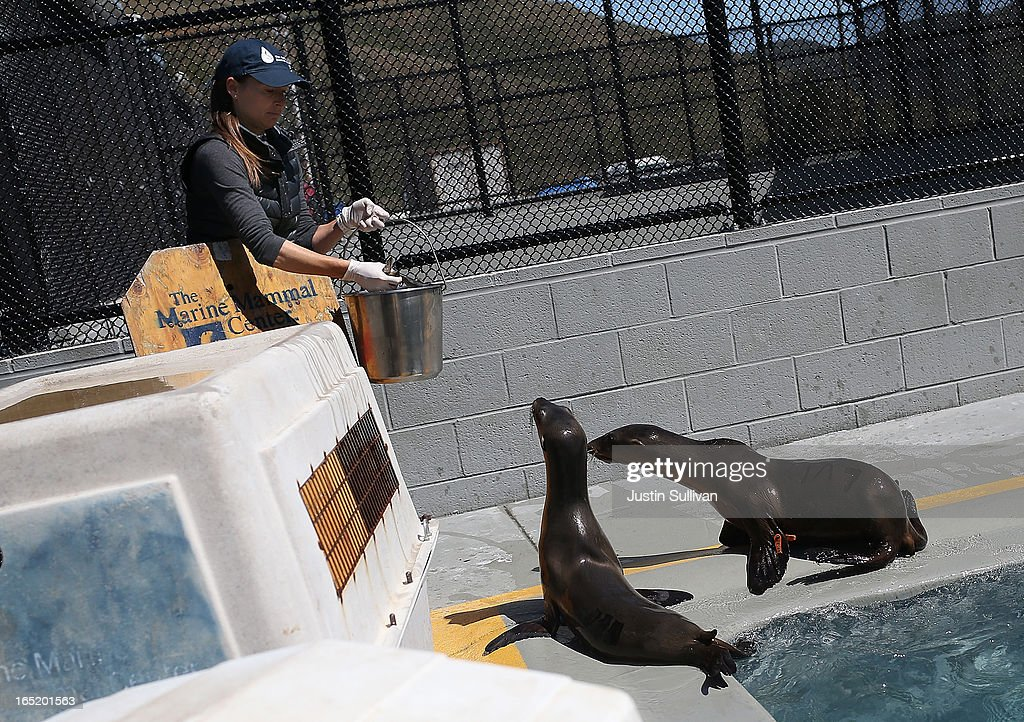Vetrinary technician Sophie Guarasci prepares to feed California sea lion pups at the Marine Mammal Center on April 1, 2013 in Sausalito, California. 30 malnourished and sick California sea lion pups are being cared for and by veterinary staff and volunteers at the Marine Mammal Center after they were transferred from from inundated marine wildlife facilities in Southern California. The National Oceanic and Atmospheric Adminstration estimates that in the first three months of 2013 more than 900 malnourished sea lions have been rescued in the region compared to 100 during the same time period one year ago.
