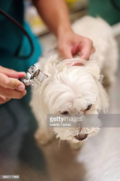 Vets examining dog's ears