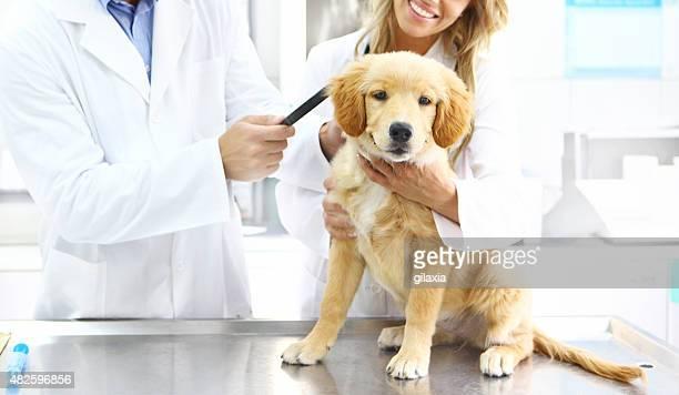 Tierärzte untersuchen Golden retriever Welpe.