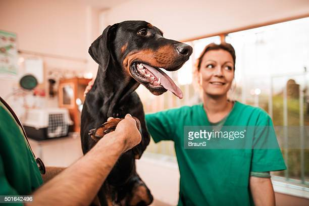 Vets having a medical exam with a black dog.