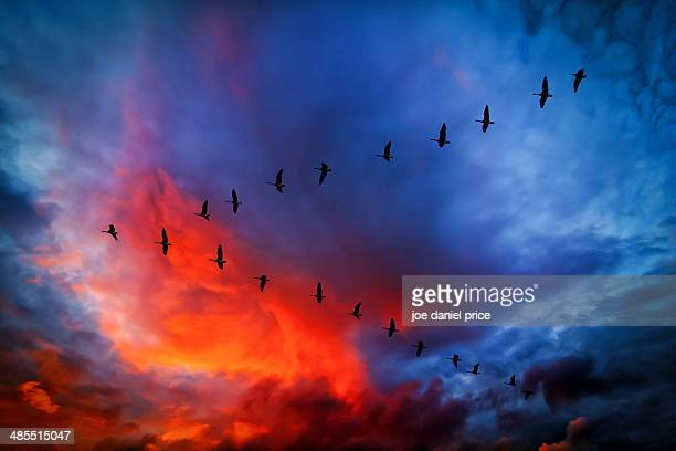 V-Formation, Canada Geese, dramatic sky, Hereford