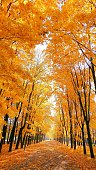 Beautiful alley of golden maple trees in the autumn campus of Moscow university