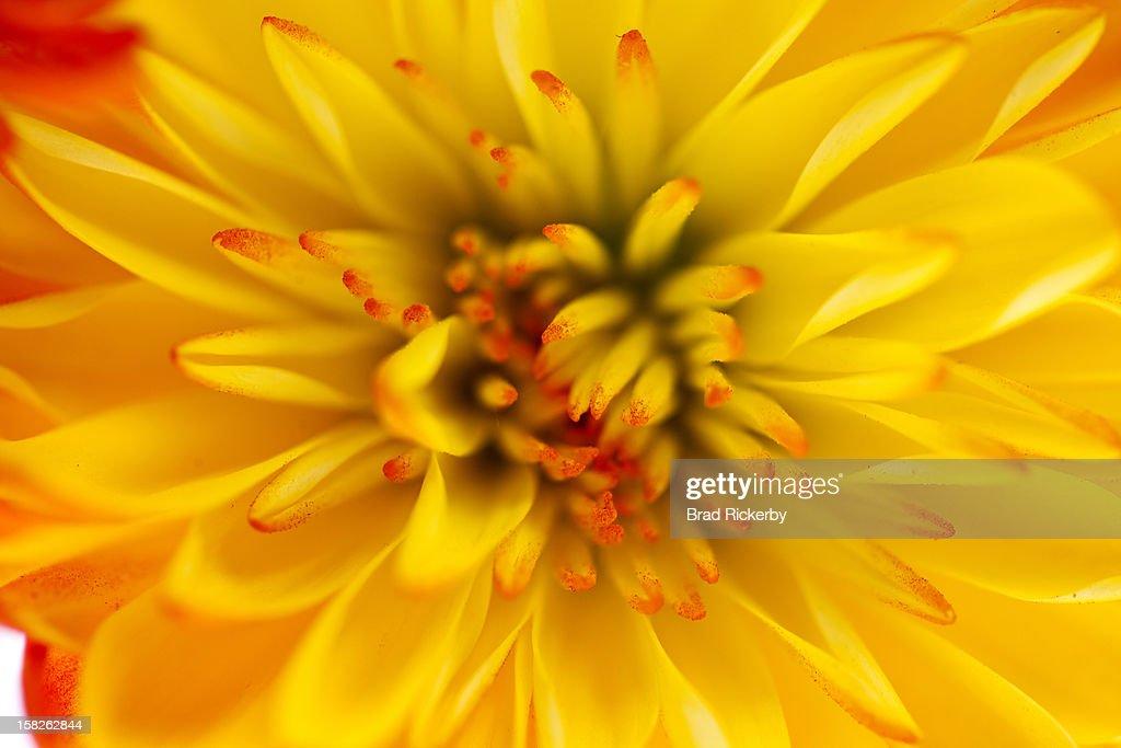 Vibrant chrysanthemum macro : Stock Photo