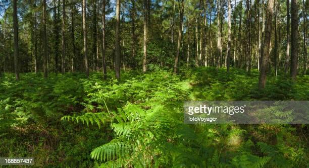 Feto de luz solar de Verão vibrante verde woodland panorama