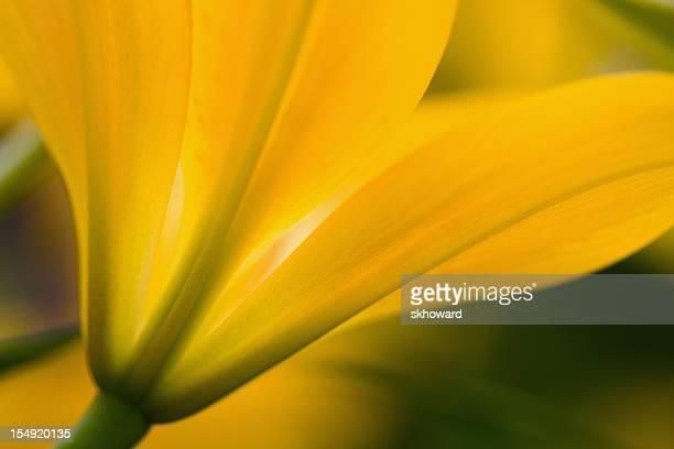Pulsierenden Golden Gelbe Seerose