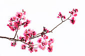 Vibrant Pink cherry blossom or sakura isolated on white background