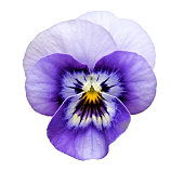 A beautiful Pansy flower with dark and light purple and white petals with a vibrant yellow center, isolated on a square white background.