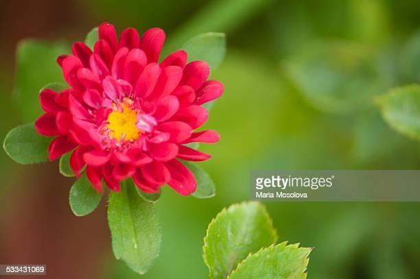 Vibrant Red Aster Flower