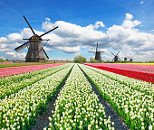 Vibrant tulips field with Dutch windmills, Netherlands. Beautiful cloudy sky
