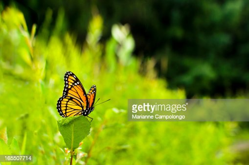 Viceroy Butterfly Limenitis archippus : Stock Photo