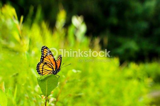 Viceroy Butterfly Limenitis archippus : Stock Photo