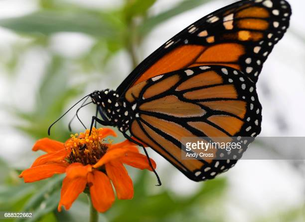 A viceroy clings to a flower at the Butterfly Pavilion and Denver Botanic Gardens fourth annual habitat experience Butterflies at Chatfield Farms May...