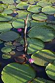 Victoria amazonica giant water lilies on Amazon