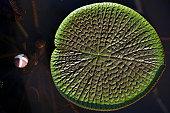 Victoria amazonica giant water lily leaf on Amazon