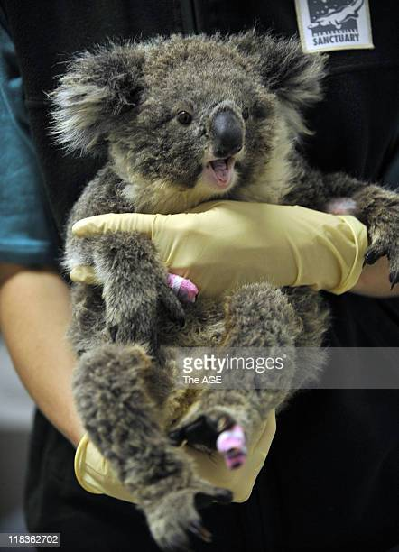 Victoria Bushfires 2009 This baby koala with burnt feet is one of the injured animals to be treated at Healesville Sanctuary near Melbourne following...