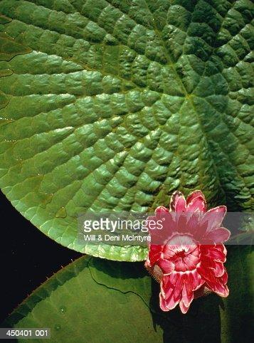 Victoria regia lilypads,Amazonas, Brazil : Stock Photo