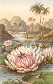 Victoria Regia the giant South American waterlily discovered by Robert Hermann Schomburgk British traveller and explorer during an expedition in...