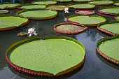 Victoria water lilies are of the plant family Nymphaeaceae They are known because of their very large green leaves that lie flat on the water's...