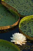 Victoria water lilies (Victoria regia), elevated view
