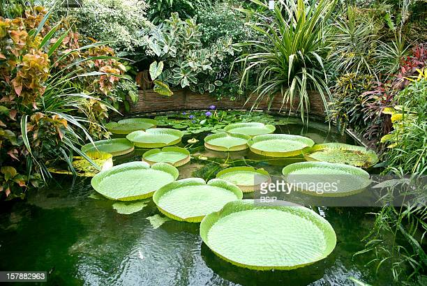 Victoria Water Lily Large Leaves In The Pool Water Lilies Of The Genus VictoriaJardin Des Plantes Of Rouen France