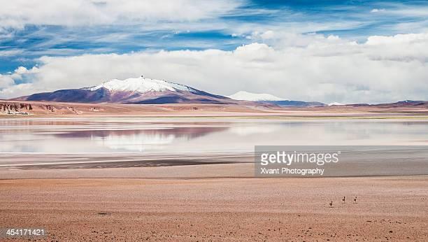 Vicu?as runing to the aguas Calientes Salt flats