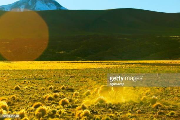 Vicuna Guanaco, animal wildlife in Andes altiplano and Idyllic Atacama Desert, Volcanic landscape panorama – Antofagasta region, Chilean Andes, Chile, Bolívia and Argentina border