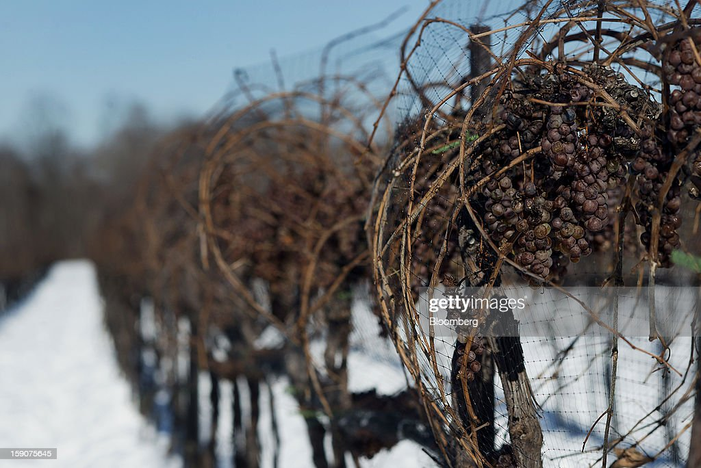 Vidal Blanc grapes hang from vines in the snow at the Ferrante Winery in Geneva, Ohio, U.S., on Friday, Jan. 4, 2013. Ice wine is a type of dessert wine produced from grapes that have been frozen while still on the vine, because the sugars and other dissolved solids do not freeze, but the water does, this allows a more concentrated grape must to be pressed. Photographer: Ty Wright/Bloomberg via Getty Images