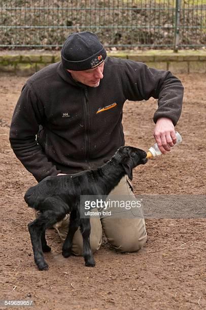 Vier Lämmer bei den seltenen HissarSchafen auch FettsteißSchafe genannt sind die ersten Frühlingsvorboten im Tierpark Friedrichsfelde Berlin auf dem...