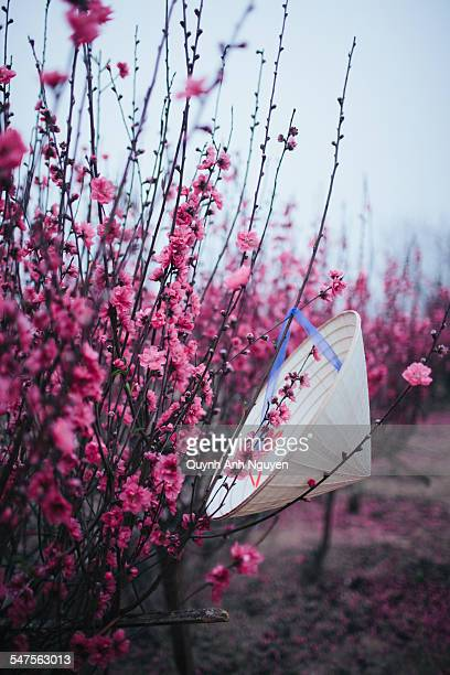 Vietnamese conical hat hanging on peach Tet tree