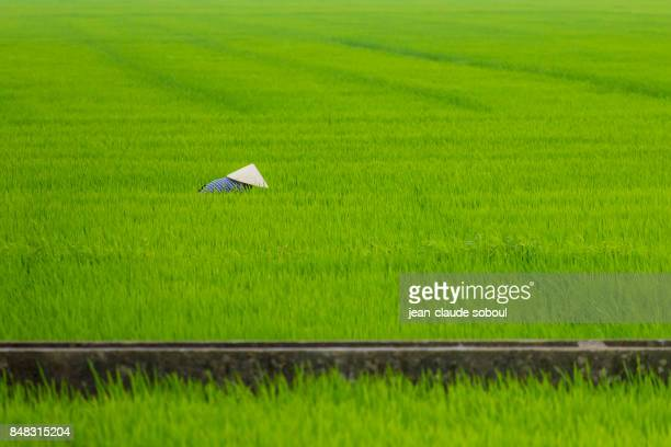 vietnamese peasant in a rice fields, in Hue province.