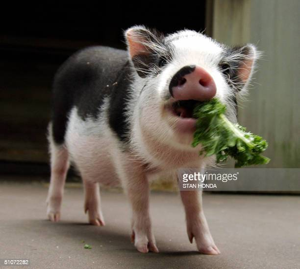 Vietnamese potbellied pig Otis eats a snack of kale as he and a second potbellied pig are introduced 15 July at the Central Park Children's Zoo in...